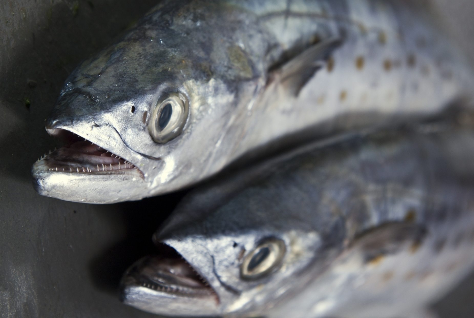 Sea change a look at four popular sustainable seafood for Fish in spanish
